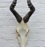 Schedel RED HARTEBEEST - gezaagde schedel