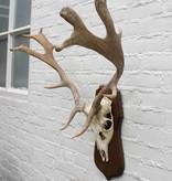 Middelgroot DAMHERT GEWEI op houten schild - afkomstig uit Duitsland