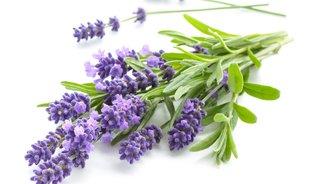 Lavendelblüten, die natürliche Einschlafhilfe