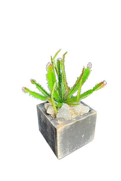 Euphorbia in Topf