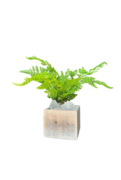 Fern forest in pot