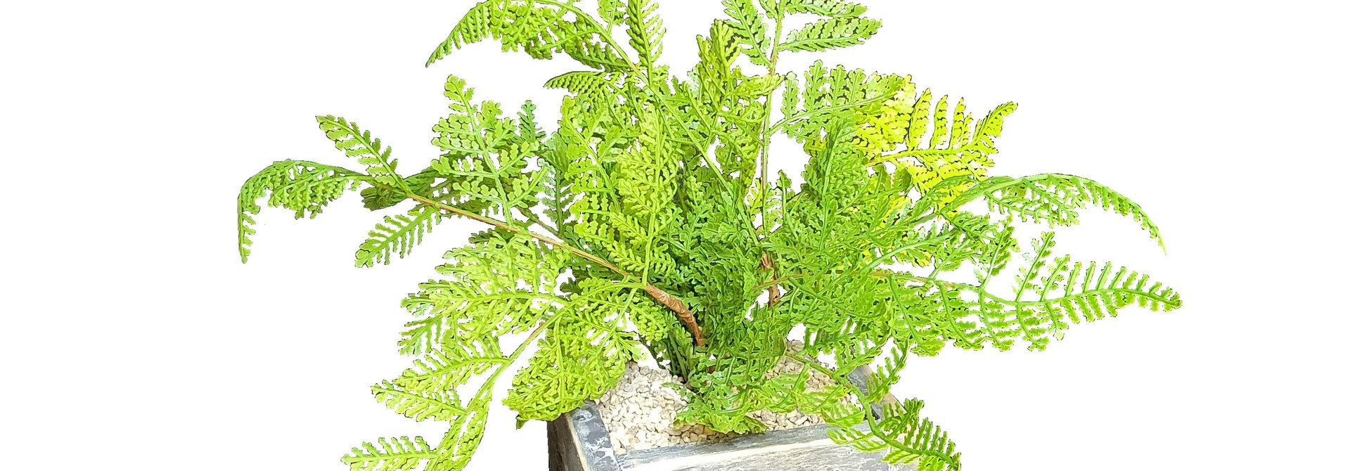 silk arrblack berlinfern forest J13