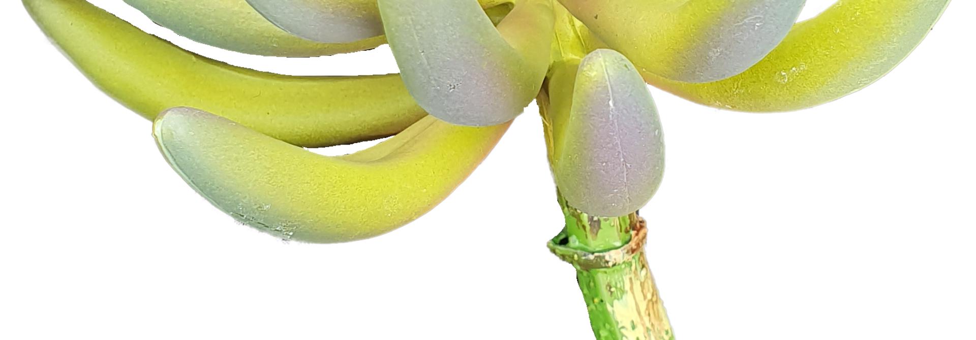 Sedum rupestre plant 14cm green