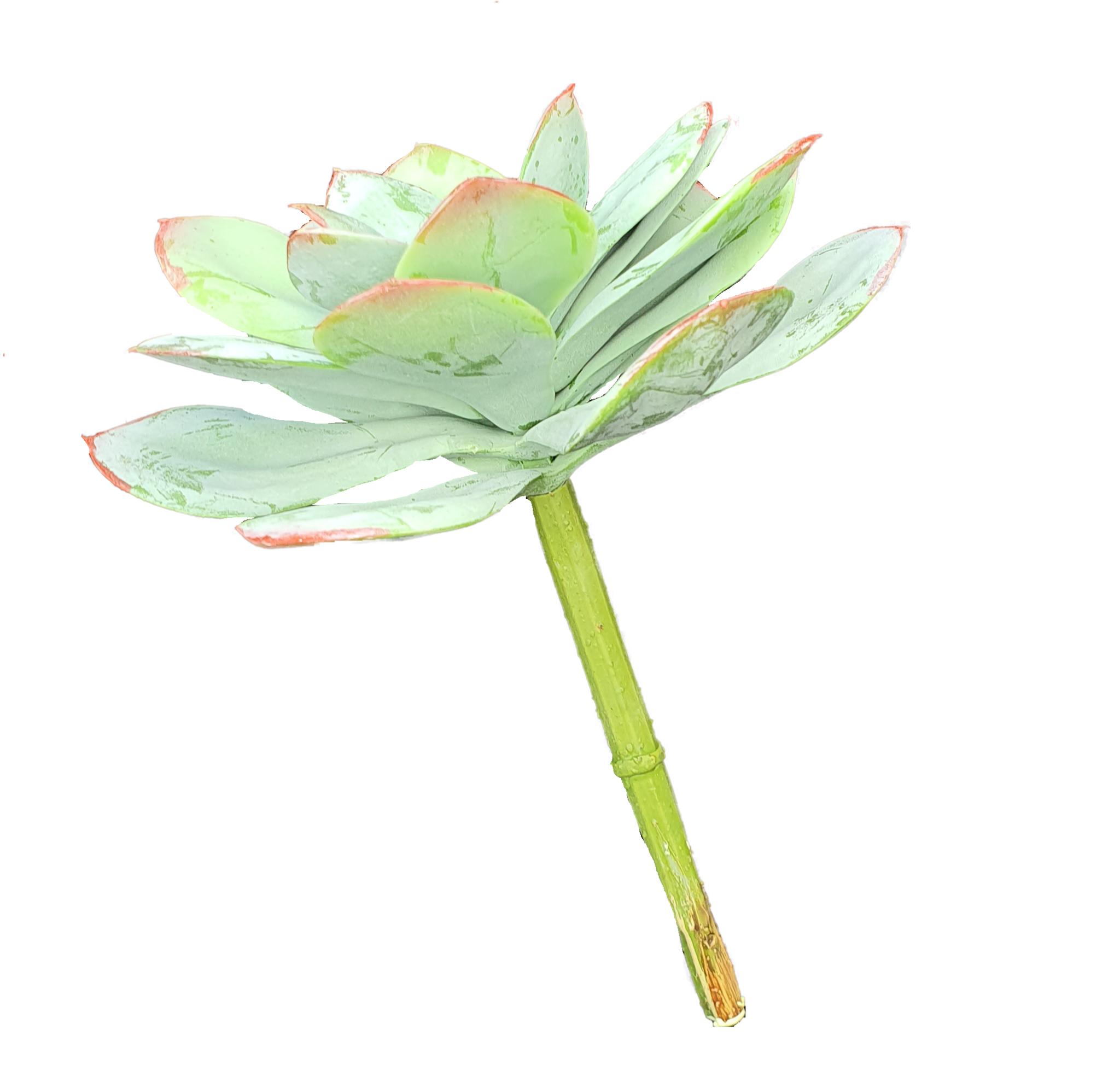 Echeveria agavo 18cm green/red-3