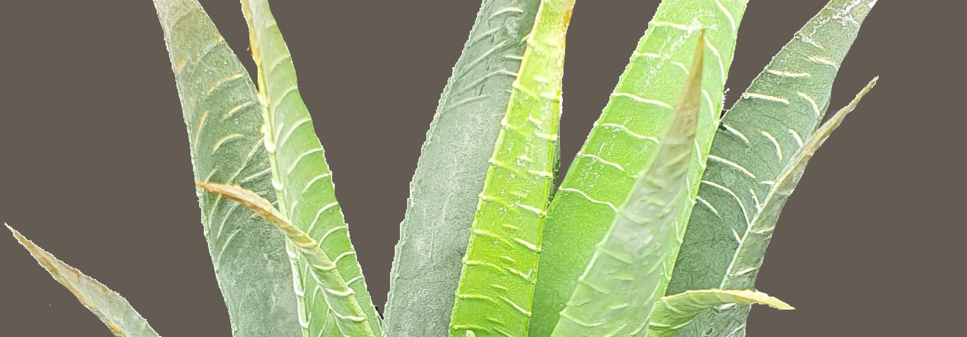 Aloe vera 23cm