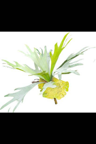 Seidenpflanze lose