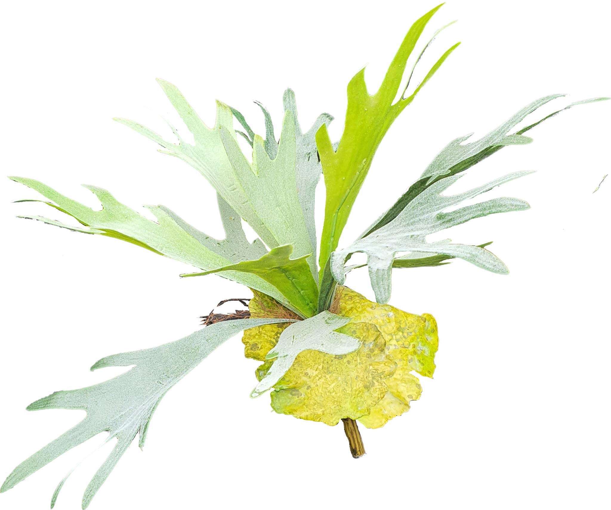 Staghorn fern 38cm-1