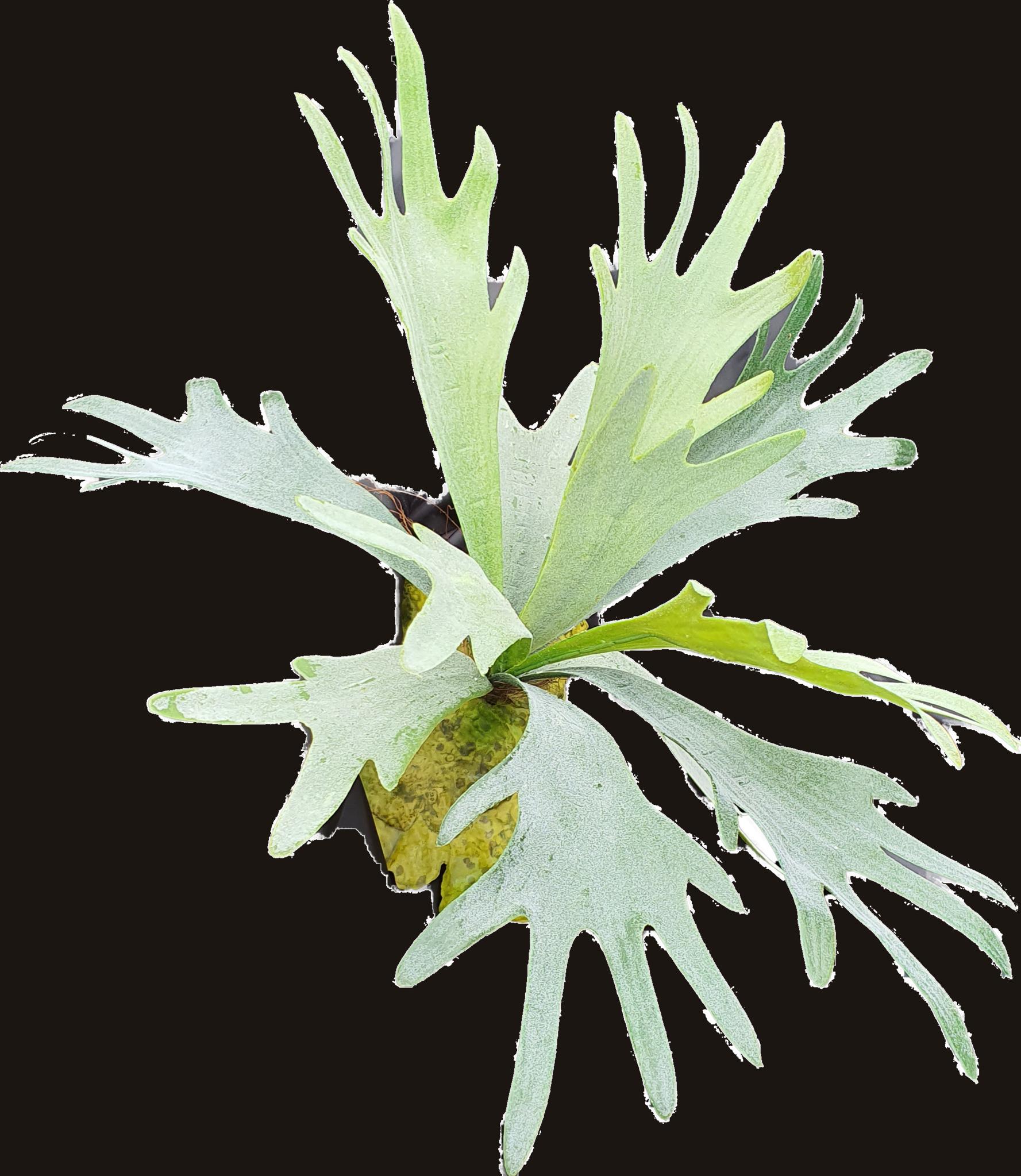 Staghorn fern 38cm-2