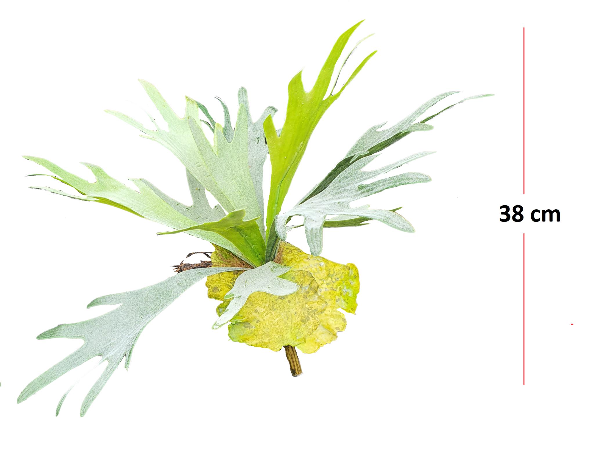 Staghorn fern 38cm-3
