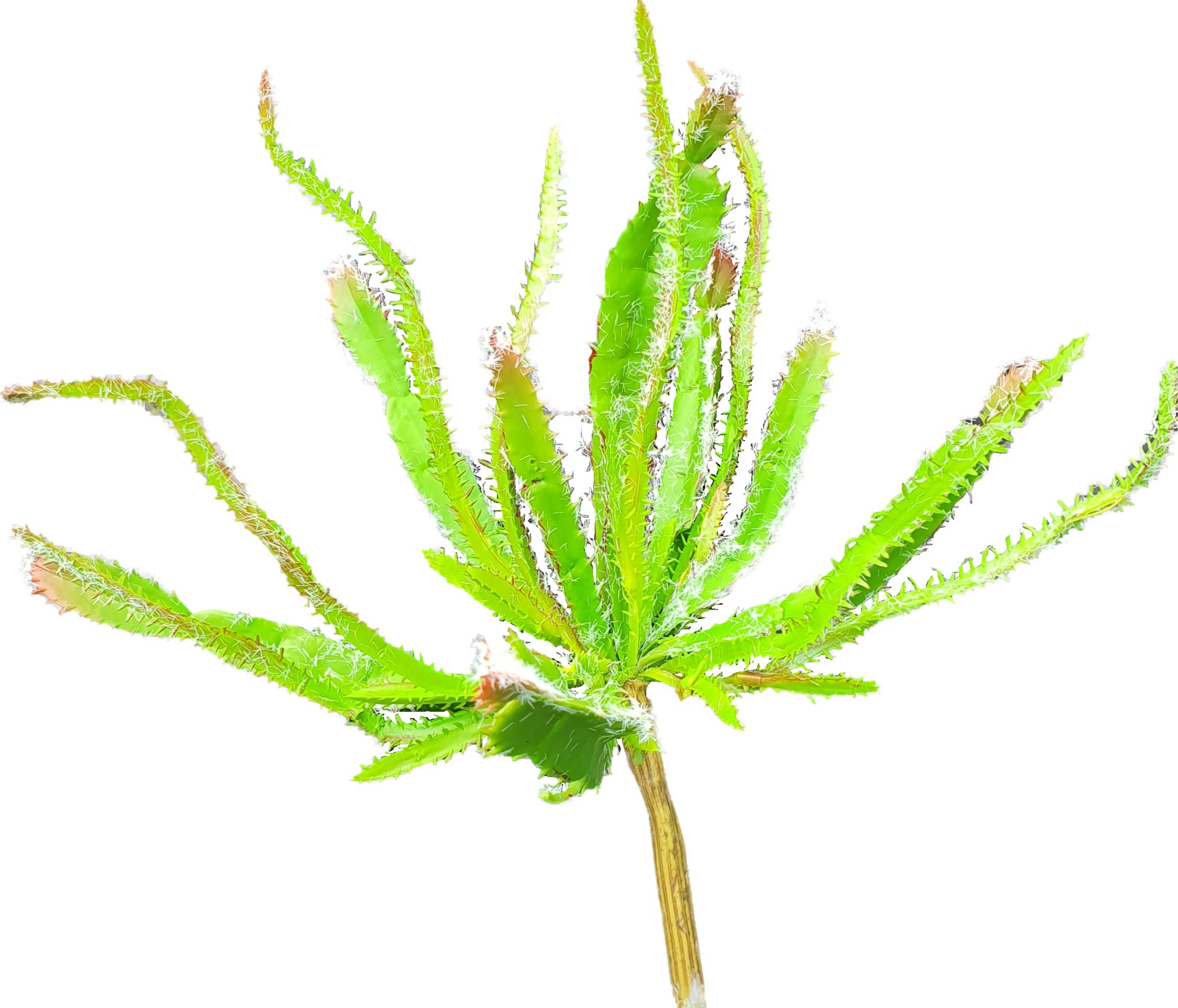 Euphorbia bush 23cm-1
