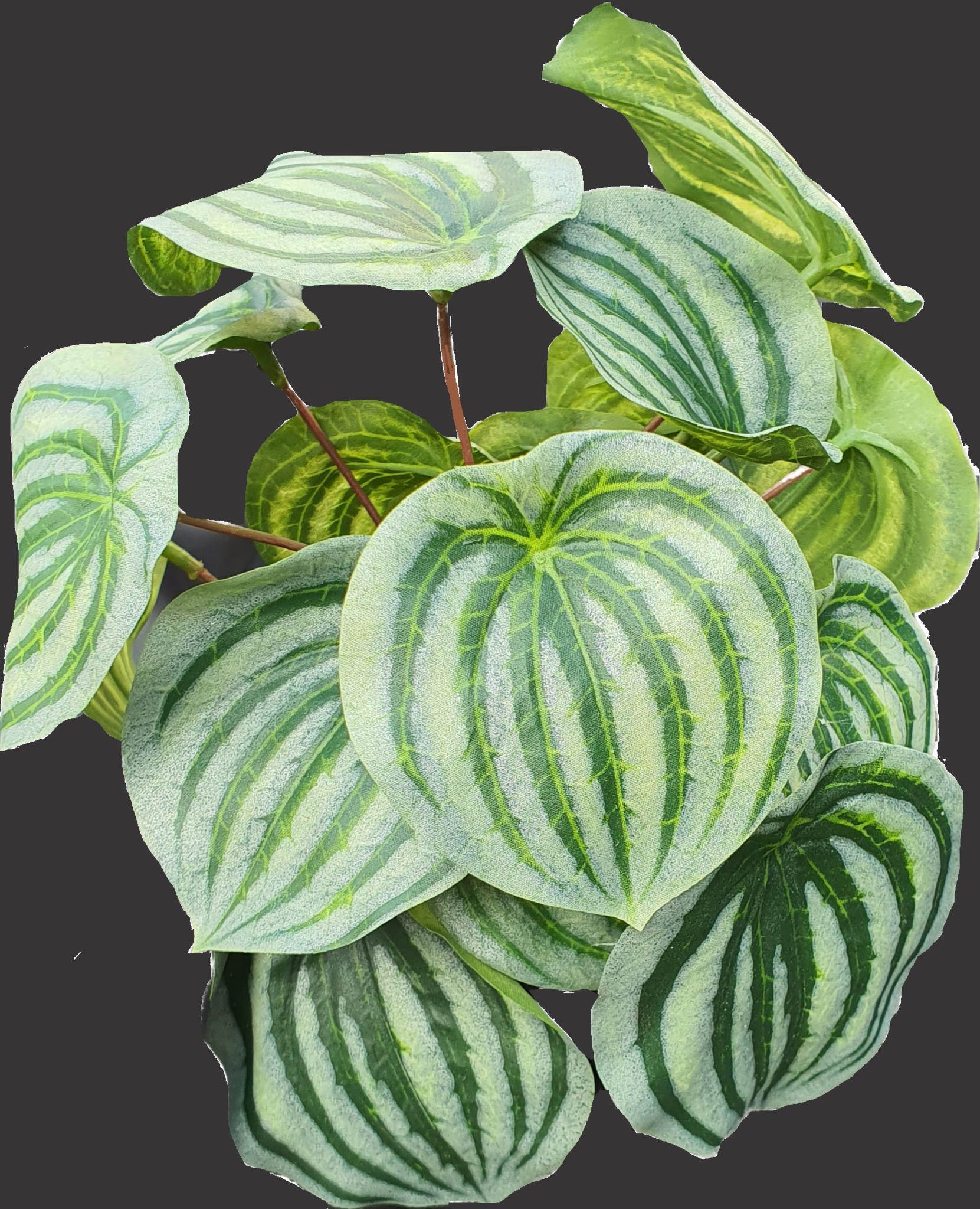 Peperomia bush green/grey 25cm-1