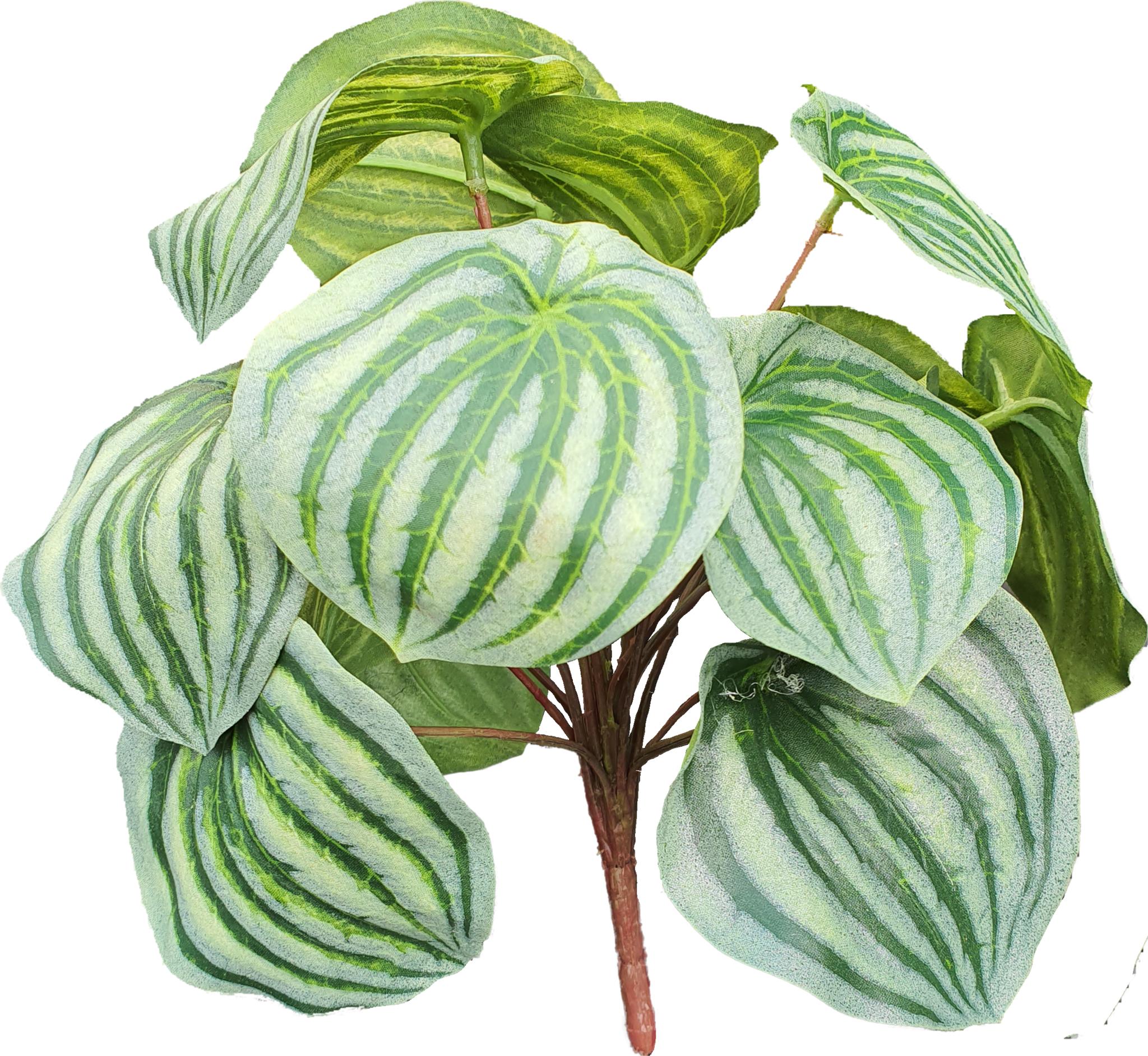 Peperomia bush green/grey 25cm-2