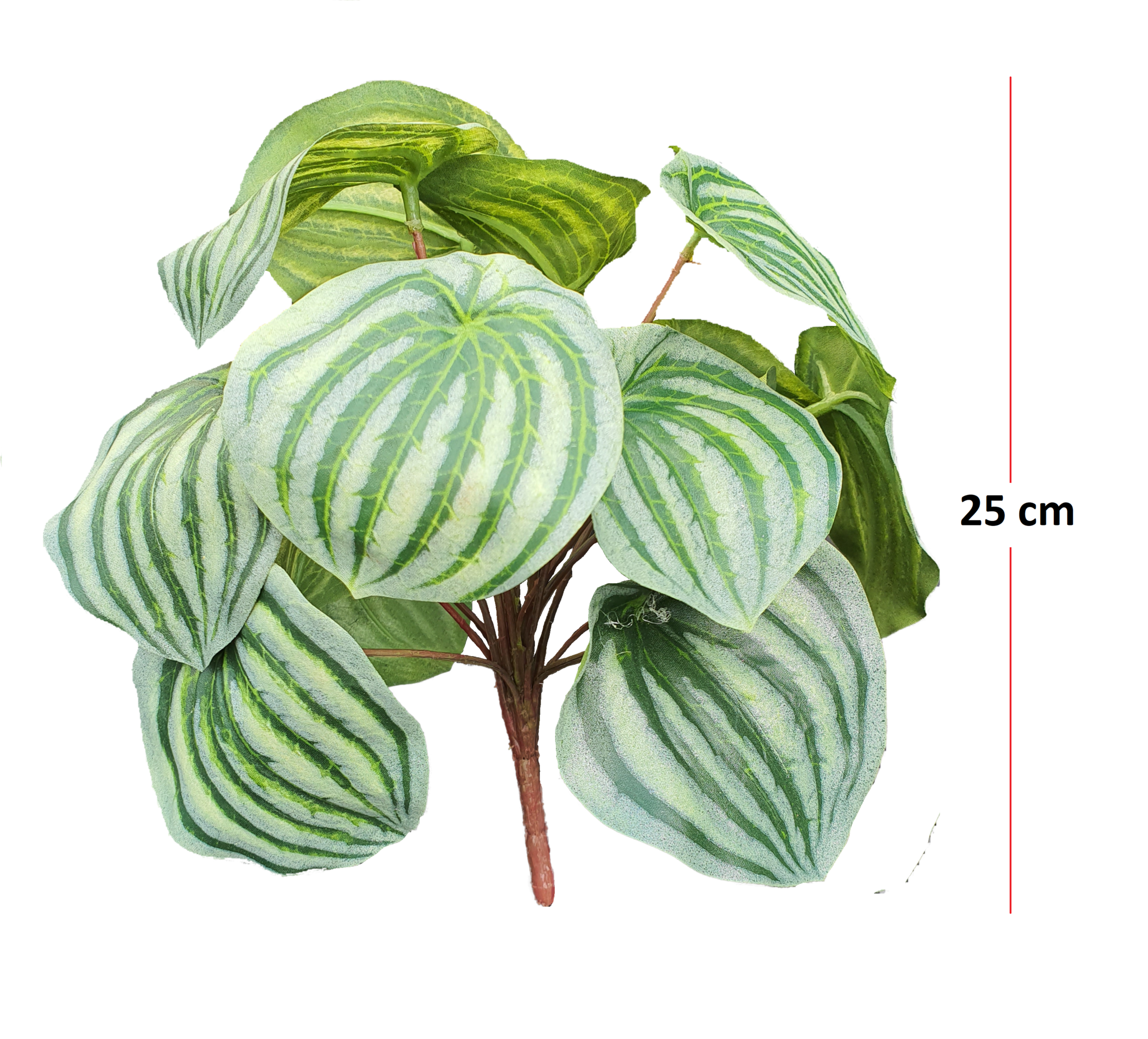 Peperomia bush green/grey 25cm-3