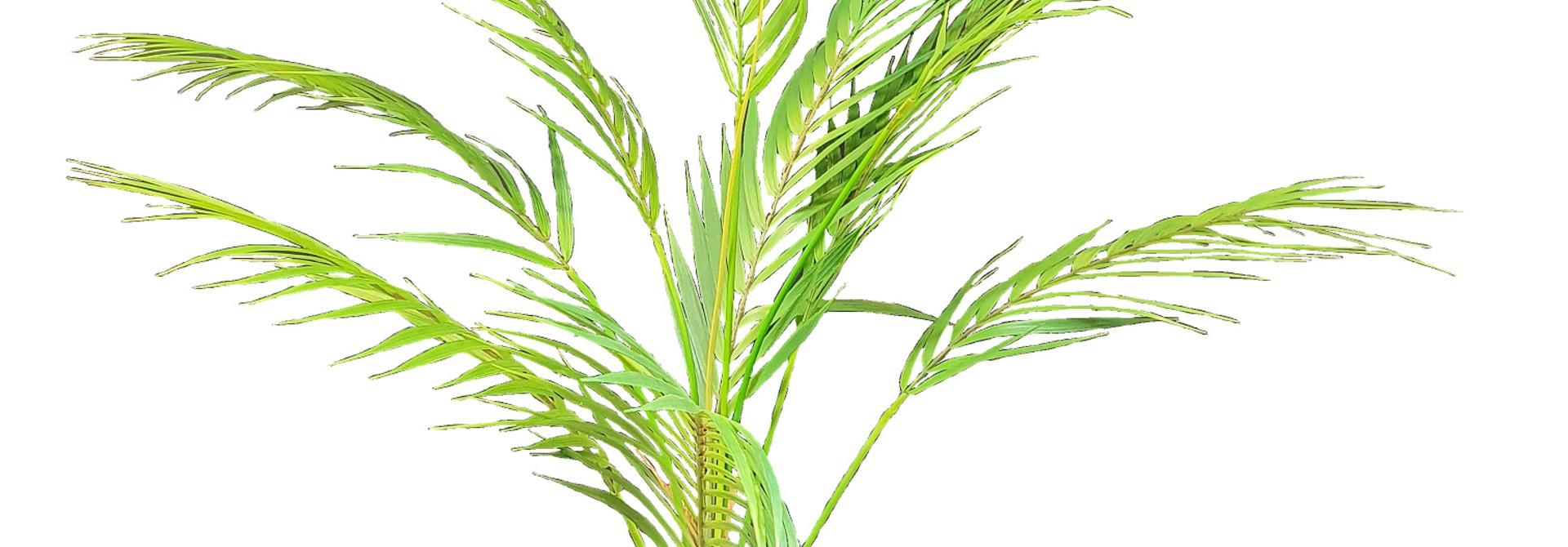 silk arrold dutchpalm chameador J15