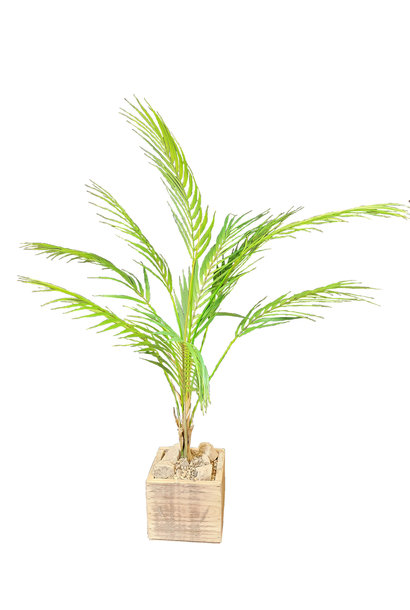 Palm chameador in Topf