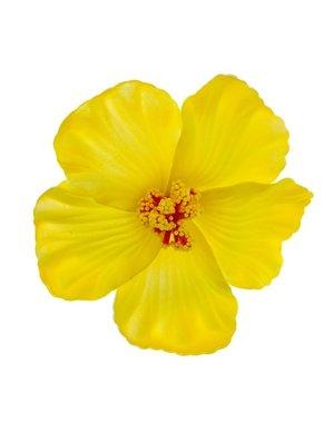 Goudhaartje Haarbloem large bright yellow