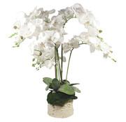L&M Bloemen - A Belle Orchid