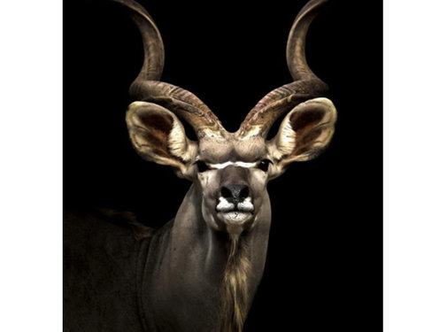 L&M Antilope - Glasschilderij 80x120 cm