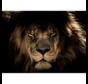 Lion-Glasschilderij-120x80