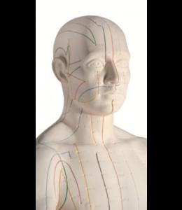 3B Scientific Akupunkturmodell