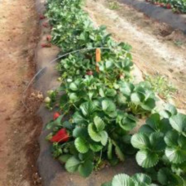 Berry healthy: project seeks biological disease control for organic strawberries