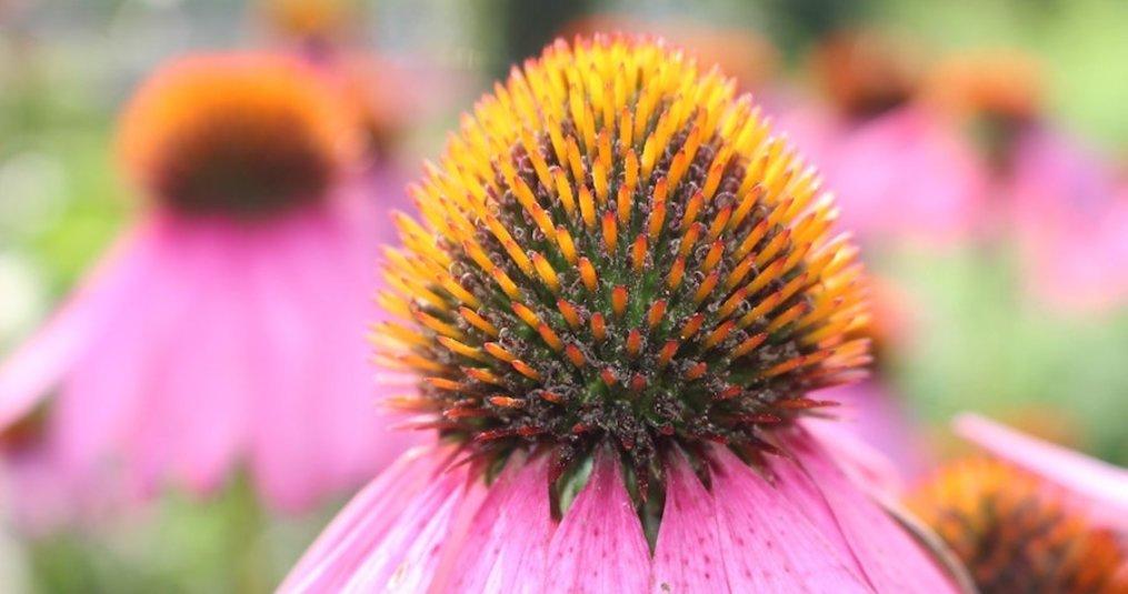 Echinacea: een plant met superkrachten