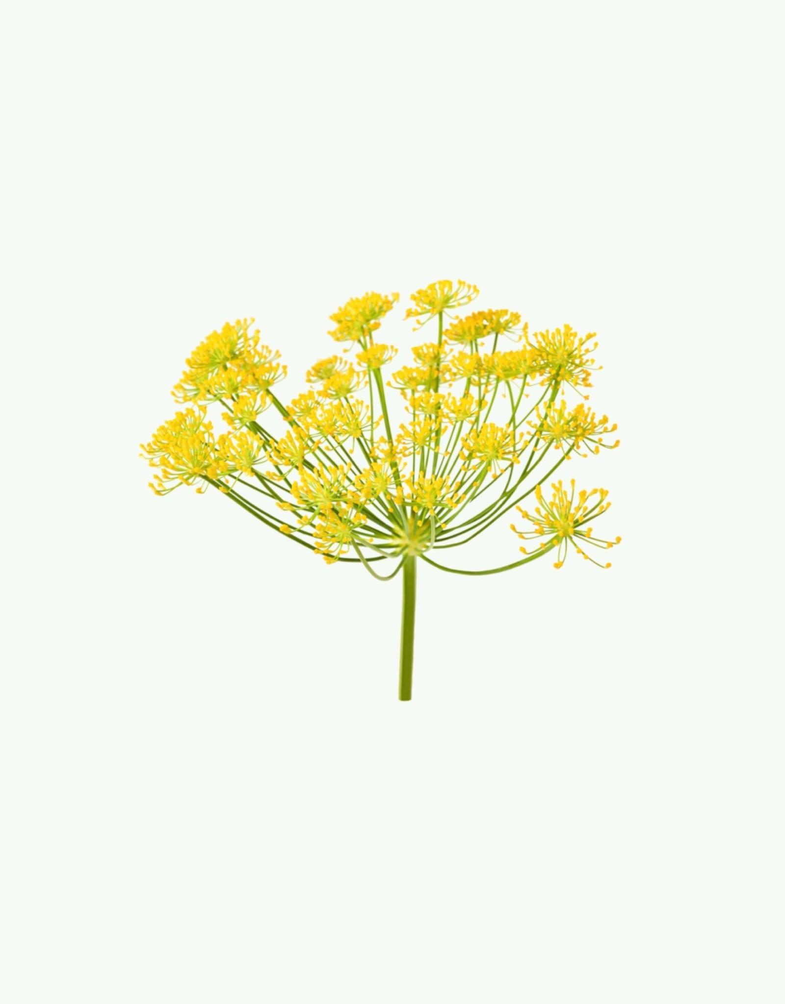 Haeckels Haeckels - Wild Fennel - Wierook kegels