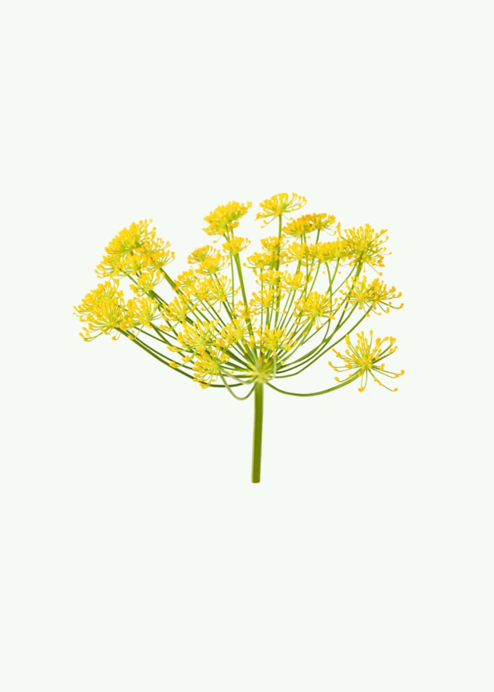 Haeckels Haeckels - Wild Fennel - Cônes d'encens