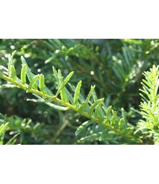 Taxus Bacatta 30-50 wortelgoed