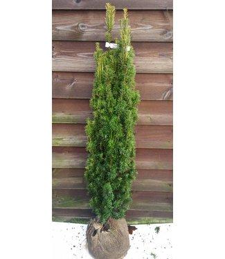 Taxus baccata 'Fastigiata Aurea maat 140 cm
