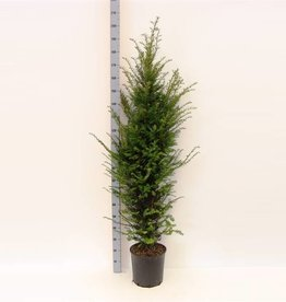 Taxus Baccata in pot (150-160 cm)