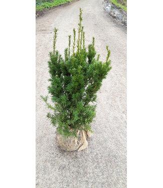 Taxus Hicksii maat 60-80 cm