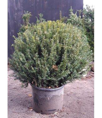 Taxus Baccata Bol 80cm
