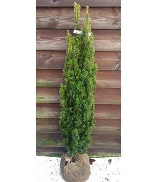 Taxus baccata 'Fastigiata Aurea maat 120-130 cm