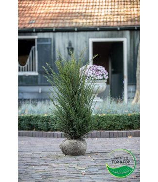 Taxus Baccata maat 120-140 cm