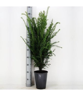 Taxus Baccata in pot (60-70cm)