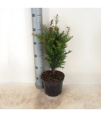 Taxus Baccata in pot (40cm)