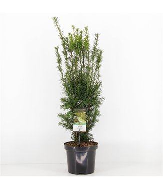 Taxus media 'Hicksii' in pot (40-50cm)