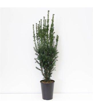 Taxus media 'Hicksii' in pot (60-80cm)