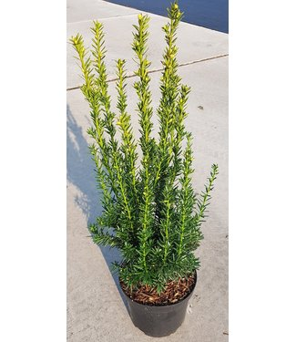 Taxus media 'Hillii' in pot (40-60cm)