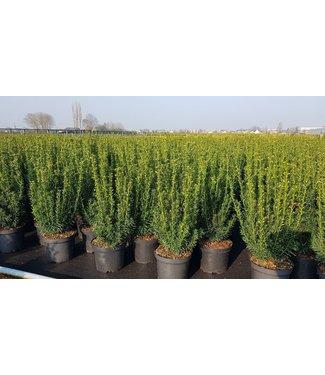 Taxus media 'Hillii' in pot (60-70cm)