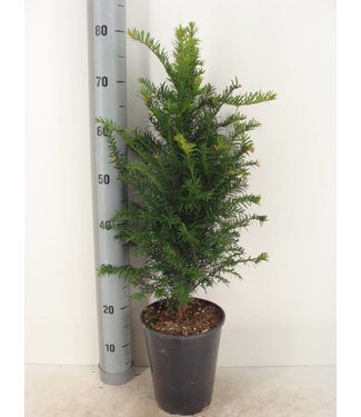 Taxus Baccata in pot (50-60cm)