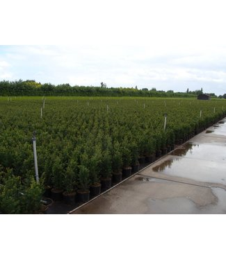 Taxus Baccata in pot (40-50cm)
