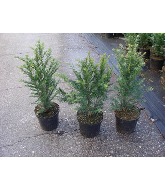 Taxus Baccata in pot (40-60cm)