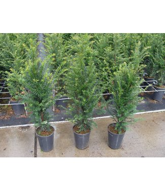 Taxus Baccata in pot (80-100cm)