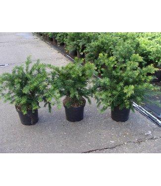 Taxus Baccata 'Repandens' in pot (30 cm)