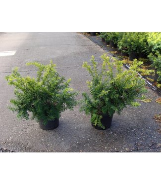 Taxus Baccata 'Summergold' in pot (30-40cm)