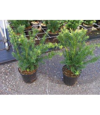 Taxus media 'Densiformis' in pot (30-40cm)