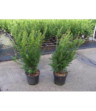 Taxus in pot (40-60cm)