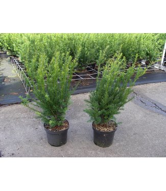 Taxus media 'Groenland' in pot (50-60cm)